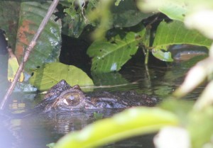 A caiman alligator is spotted in the underbrush along the Amazon River waters edge.