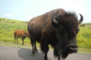 Buffalo and calf crossing road