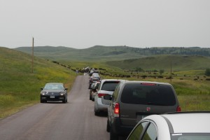 Buffalo Traffic Jam Custer State Park